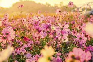 Wild Daisy Background Image