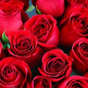 Wild Daisy Roses